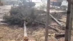 Sokağa Çıkma Yasağında Ağaçları Kestiler