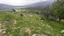 TOKİ'ye Yer Açmak için 200 Zeytin Ağacı Söküldü