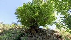 410 Yıllık Ağaç, 'Anıt Ağaç' Olarak Tescillendi