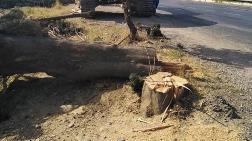 Yol Yapımı için 80 Yıllık Ağaçları Kestiler