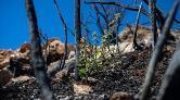 Yangında Zarar Gören Ormanlar için 'Doğal Yenilenme' Önerisi